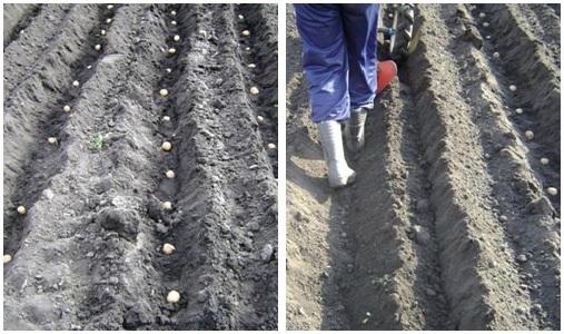 посадка картофеля мотоблоком фото